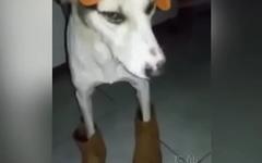 Cachorro baianor